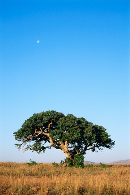 Tree on South African Savanna