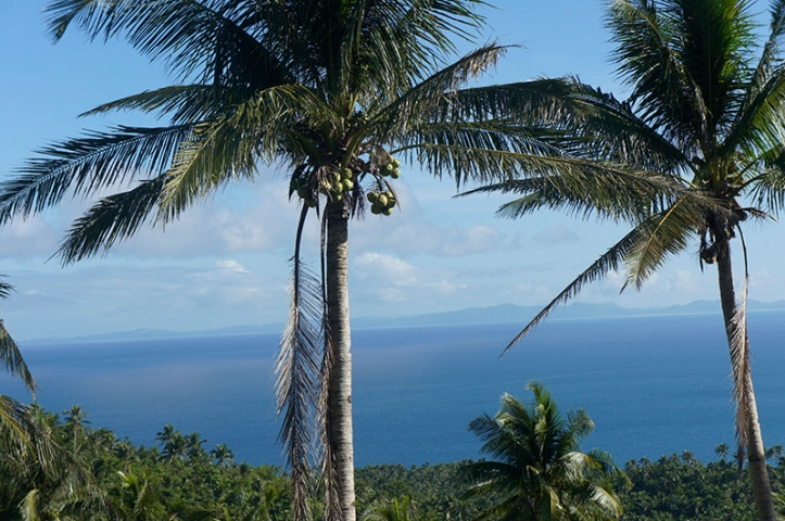 Coconut trees in the Philippines